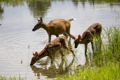 Ciervos en el lago Fotos de archivo
