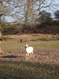 Ciervos en el parque de Knole foto de archivo