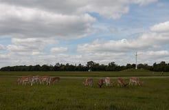 Ciervos en el parque de Phoenix Fotos de archivo libres de regalías