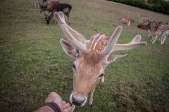 Ciervos en el parque de Phoenix Fotografía de archivo libre de regalías
