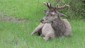 Ciervos en el parque nacional de Abruzos en Italia metrajes