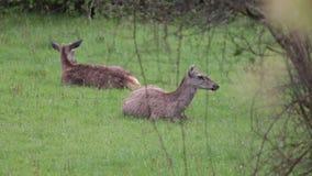 Ciervos en el parque nacional de Abruzos en Italia almacen de metraje de vídeo
