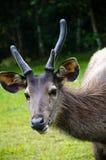Ciervos en el parque nacional de Khao Yai Imágenes de archivo libres de regalías