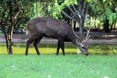Ciervos en el parque zoológico Fotos de archivo libres de regalías