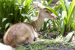 Ciervos en el parque zoológico abierto Fotos de archivo