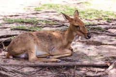Ciervos en el parque zoológico abierto Imagenes de archivo