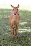 Ciervos en el parque zoológico abierto Imagen de archivo libre de regalías