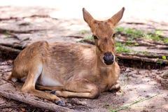 Ciervos en el parque zoológico abierto Fotografía de archivo libre de regalías
