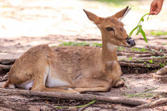 Ciervos en el parque zoológico abierto Fotografía de archivo