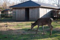 Ciervos en el parque zoológico imagen de archivo libre de regalías