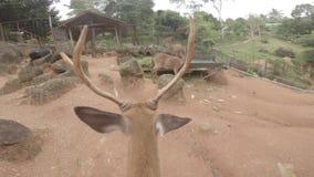 Ciervos en el parque zoológico salvaje, ejemplo, mamífero, fauna, fondo, naturaleza, metrajes