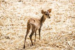 Ciervos en el parque zoológico Tailandia del chiangmai Foto de archivo libre de regalías
