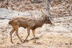 Ciervos en el parque zoológico Tailandia del chiangmai Fotos de archivo