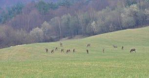 Ciervos en el prado Foto de archivo