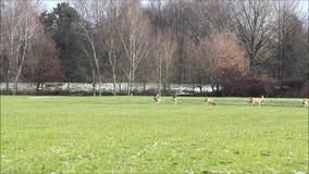 Ciervos en el prado, fauna, libertad almacen de video