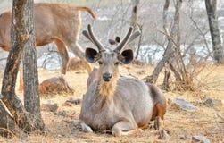 Ciervos en el salvaje Foto de archivo