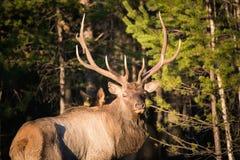 Ciervos en el salvaje Fotografía de archivo libre de regalías