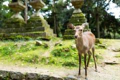 Ciervos en el templo japonés foto de archivo