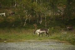 Ciervos en el wildDeer con los cuernos hermosos grandes en el fondo del bosque imagen de archivo