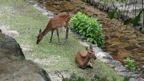 Ciervos en escena de la naturaleza almacen de metraje de vídeo