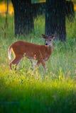 Ciervos en Forest Sunlight fotos de archivo libres de regalías