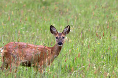 Ciervos en hierba alta Imagen de archivo libre de regalías