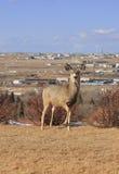 Ciervos en la colina Imágenes de archivo libres de regalías