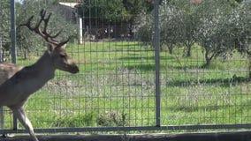 Ciervos en la granja