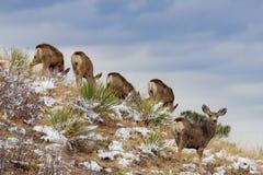 Ciervos en la ladera con el cielo azul fotografía de archivo