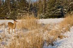 Ciervos en la nieve Imágenes de archivo libres de regalías