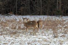 Ciervos en la nieve Fotografía de archivo