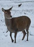 Ciervos en la nieve en Escocia Imagenes de archivo