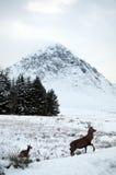 Ciervos en la nieve en la cañada Coe en Escocia Imagen de archivo