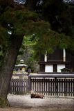 Ciervos en la provincia Japón de Nara Fotografía de archivo libre de regalías