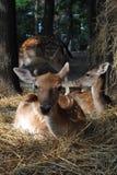 Ciervos en la sombra Foto de archivo libre de regalías