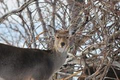 Ciervos en la ubicación salvaje en Japón septentrional Fotografía de archivo