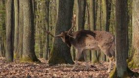 Ciervos en las maderas almacen de metraje de vídeo