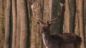 Ciervos en las maderas almacen de video