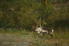 Ciervos en los cuernos grandes salvajes Fotos de archivo libres de regalías