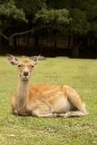Ciervos en Nara Fotografía de archivo libre de regalías