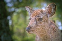 Ciervos en Nara, Japón Fotografía de archivo