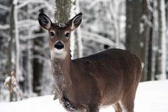 Ciervos en nieve Foto de archivo libre de regalías