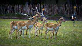 Ciervos en parque zoológico Fotografía de archivo libre de regalías
