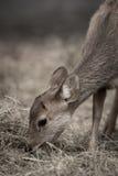Ciervos en parque zoológico Fotos de archivo libres de regalías