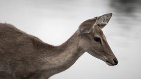 Ciervos en parque zoológico Imagen de archivo