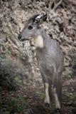 Ciervos en parque zoológico Imagen de archivo libre de regalías