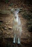 Ciervos en parque zoológico Imagenes de archivo