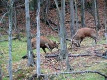 Ciervos en Quebec Canadá, Norteamérica fotos de archivo
