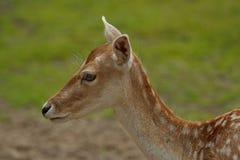 Ciervos en salvaje Fotografía de archivo
