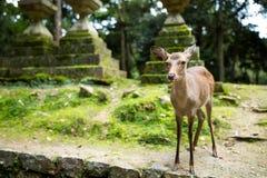 Ciervos en templo japonés fotos de archivo